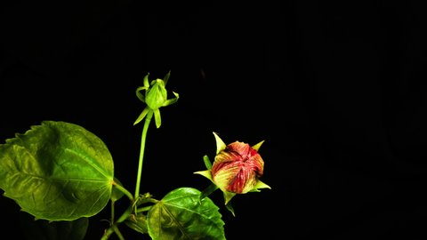 Red hibiscus time lapse of new life floral bloom start on black background.