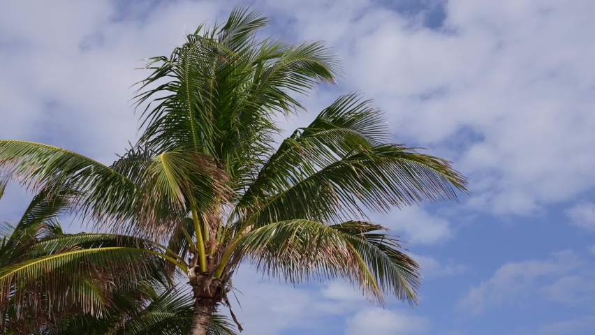 Palm tree moving in the wind. Partly cloudy skies move behind the tree.  | Shutterstock HD Video #1069179592