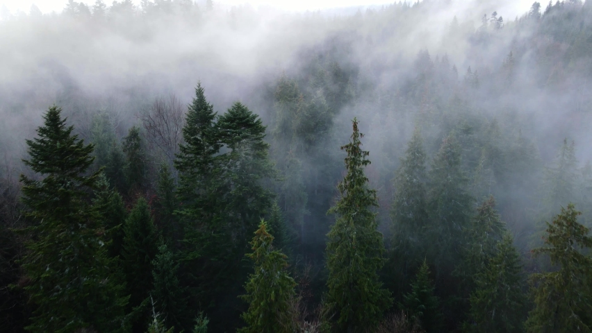 Rainy weather in mountains. Misty fog blowing over pine tree forest. Aerial footage of spruce forest trees on the mountain hills at misty day. Morning fog at beautiful autumn forest.