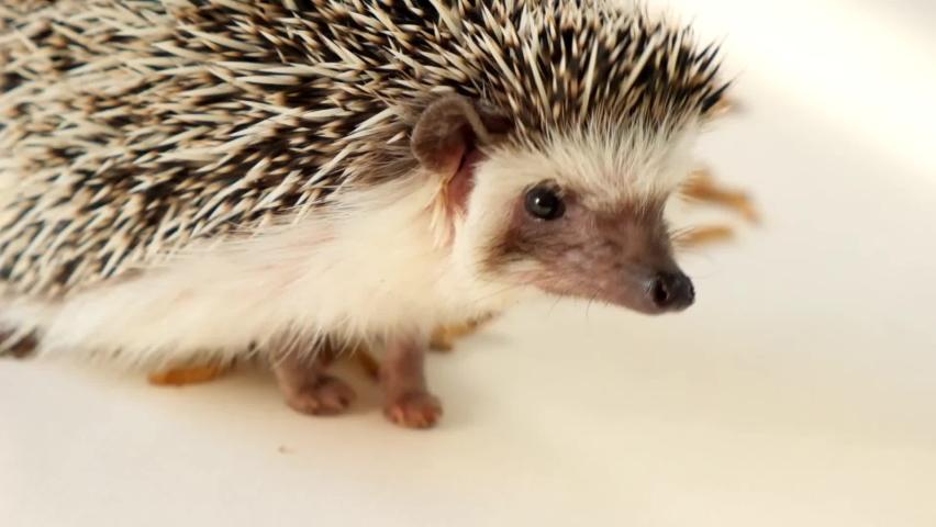 Small hedgehog on a beige background. African pygmy hedgehog. Close-up portrait of a hedgehog.