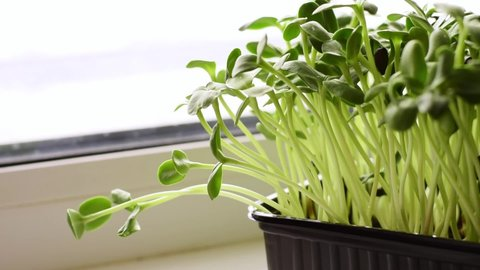 Close-up of microgreens grown from sunflower seeds on a home windowsill.Spraying the sprouts with water from the spray gun.The concept of healthy eating,vegan concept.Home gardening.Slow motion.