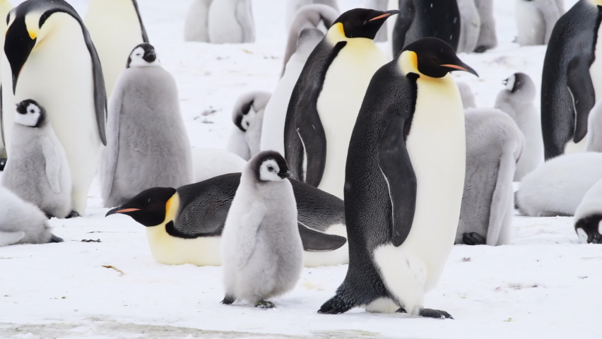 Emperor Penguins with chicks close up in Antarctica | Shutterstock HD Video #1069349683