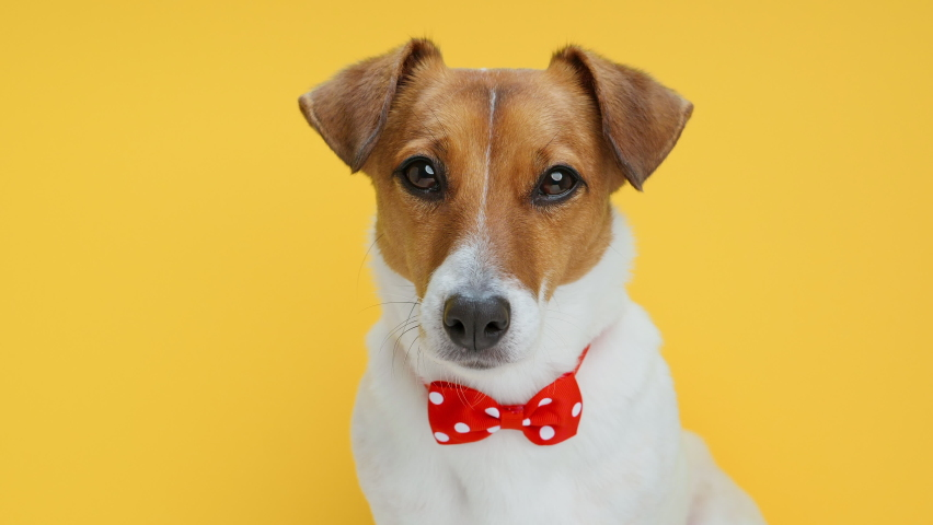 Dog Portrait breed of Jack Russell Terrier wiggles ears with bow tie for clothes on neck look on camera slow motion on Yellow Background. Caring for pets. Animals. Lifestyle. Emotions. Family. Pet | Shutterstock HD Video #1069429867