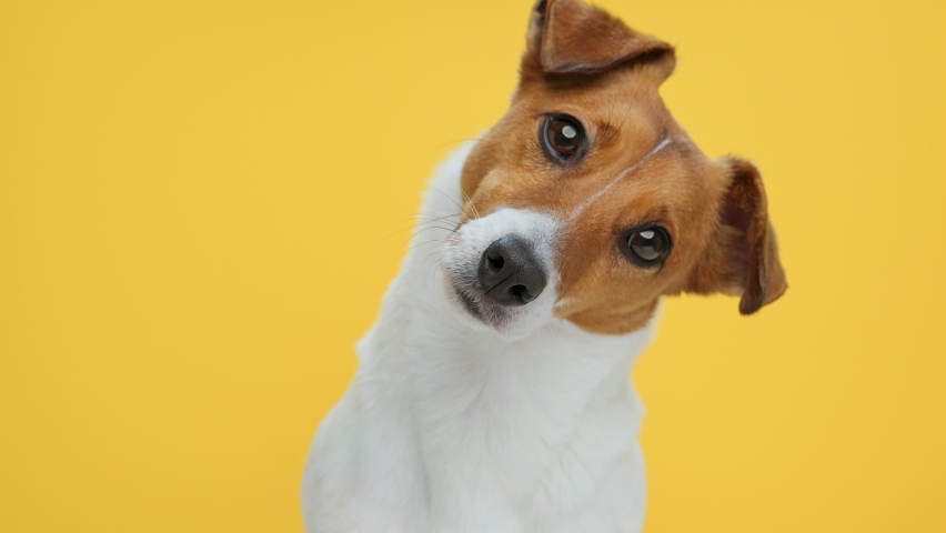 Dog Portrait breed Jack Russell Terrier looks at object with interest turns its head in different directions funny close up on Yellow background looking at camera at. Caring for pets. Animals. | Shutterstock HD Video #1069429870