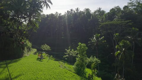 Drone view of green rice fields at sunrise with light rays and jungle.