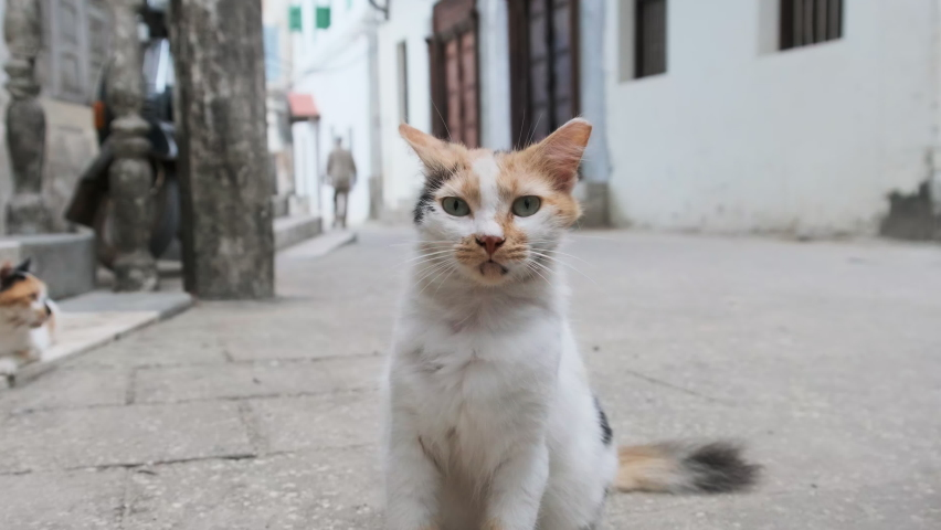 Homeless shabby tricolor cat in Africa on the street of dirty Stone Town, Zanzibar. Wild stray cat in a poor city. Hungry, and battered cat in a poor African country. Sad Street Pets. Poverty Africa. Royalty-Free Stock Footage #1069551658