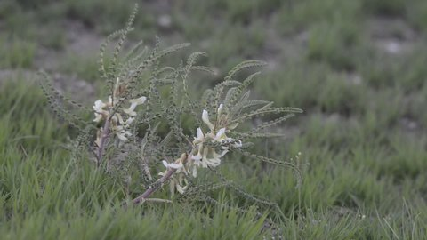 Astrgalus alepicus plant in the wind