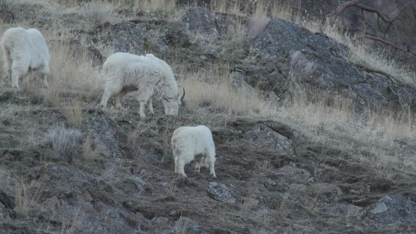 Mountain goat (Oreamnos americanus) on mountain