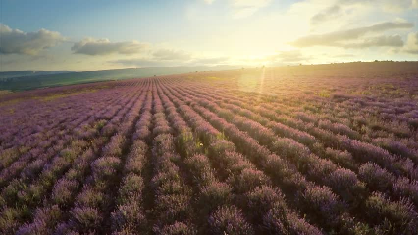 Aerial nature video. Flight over lavender meadow. Agriculture industry scene. Nature scene composition. | Shutterstock HD Video #10697222