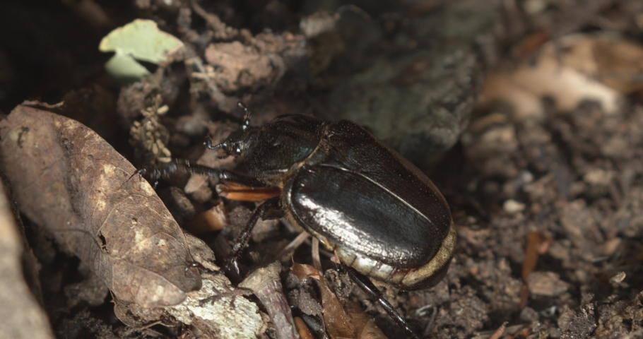 The close-up of Osmoderma eremita, the hermit beetle or Russian leather beetle | Shutterstock HD Video #1069821628