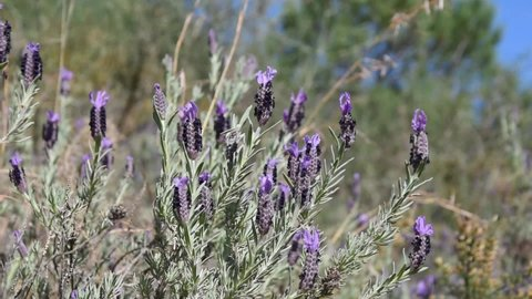 Branches and flowers of French lavender swinging in the wind