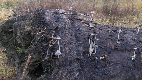 wild Psathyrella fungi in the plantation