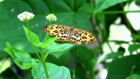 As you can see beautiful Butterfly setting on flower and sucking necter from  flower . And beauiful greenery  eveywhere