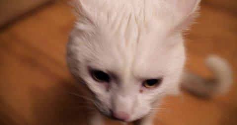 Close up fish eye white cat orange bandanna sitting standing up and walking off