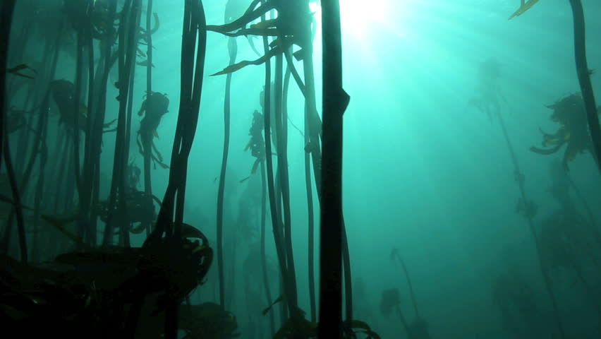 Sunlight rays shining underwater into kelp forest in Cape Town, South Africa