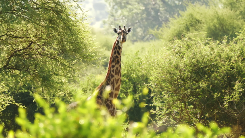 Giraffe (Giraffa camelopardalis) in Kruger National Park, South Africa. Amazing scene of row of cars on safari watching wild animals shot from drone. Concept of wildlife, nature, africa. Royalty-Free Stock Footage #1070430784