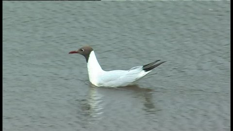 Black-Headed gull swimming in the UK