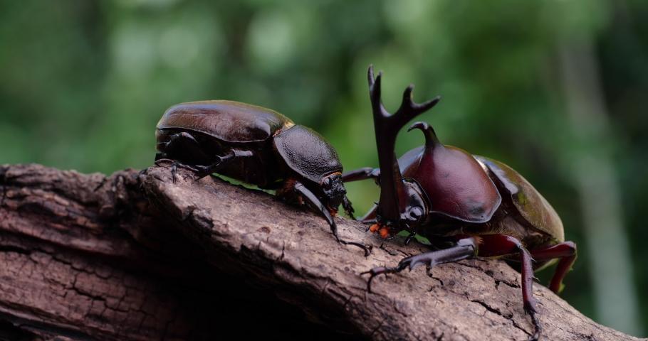 Video of male and female beetles.  Japanese Rhinoceros Beetle. | Shutterstock HD Video #1070606173