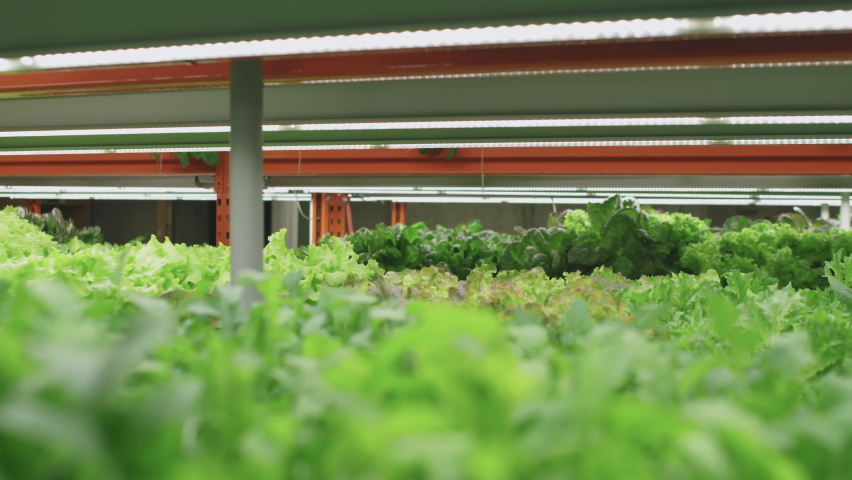Slowmo of afro-american male agronomic engineer in protective workwear inspecting growing lettuce seedlings of various sorts on shelves of contemporary vertical farm | Shutterstock HD Video #1070631709