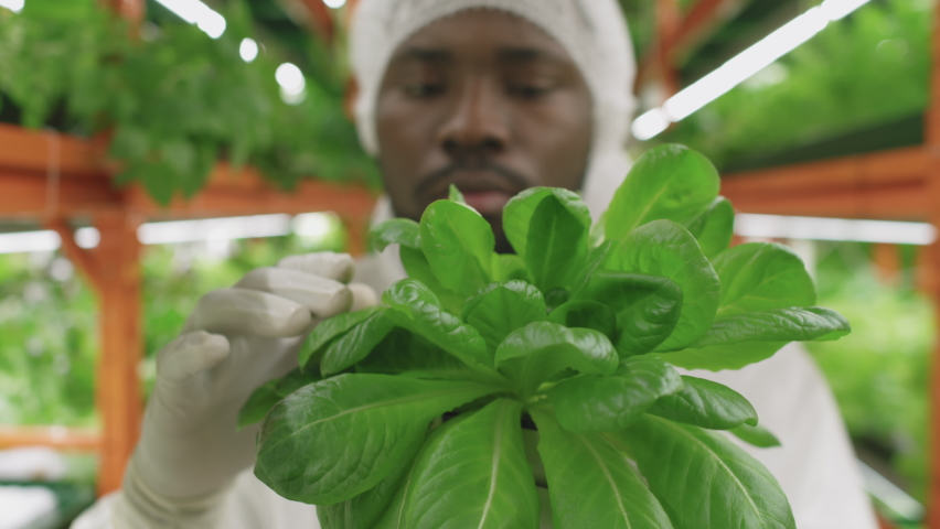 Close up of green spinach seedlings being inspected by professional afro-american agronomic engineer in vertical farm | Shutterstock HD Video #1070632762