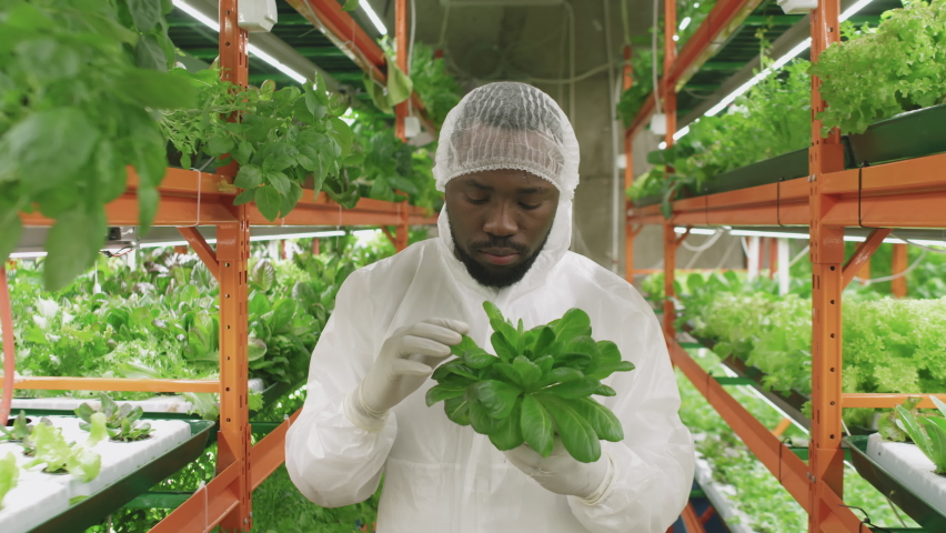 Slow-motion medium portrait of male afro-american agronomic engineer in protective workwear holding pot with spinach seedlings then looking at camera standing in vertical farm | Shutterstock HD Video #1070633083