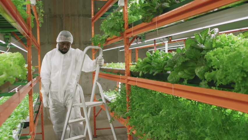 Slow-motion full shot of african american male agronomic engineer in protective workwear climbing stepladder to examine spinach and lettuce seedlings growing on upper shelves in vertical farm | Shutterstock HD Video #1070634193