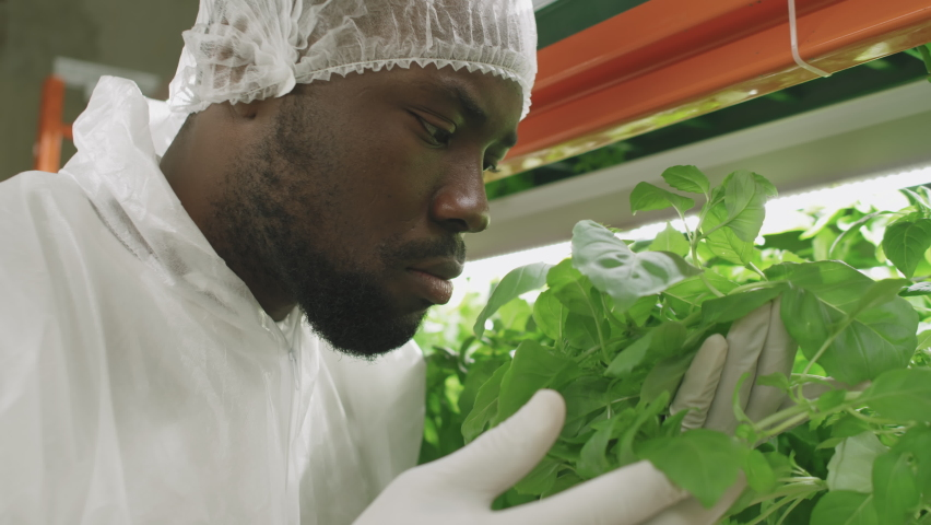 Close up of male agronomic engineer of African ethnicity examining seedlings of various sorts growing in vertical farm, smelling fresh green leaves | Shutterstock HD Video #1070634775