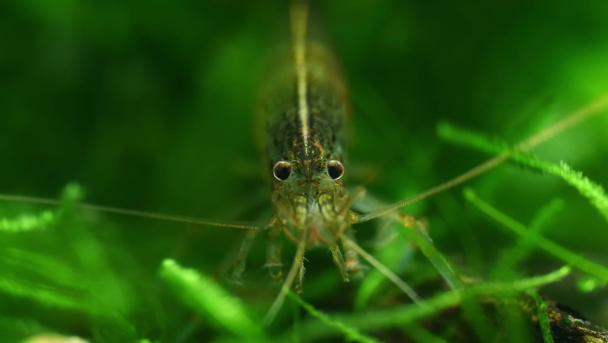 Close up of an Amano Shrimp in a freshwater aquarium Royalty-Free Stock Footage #1070656516