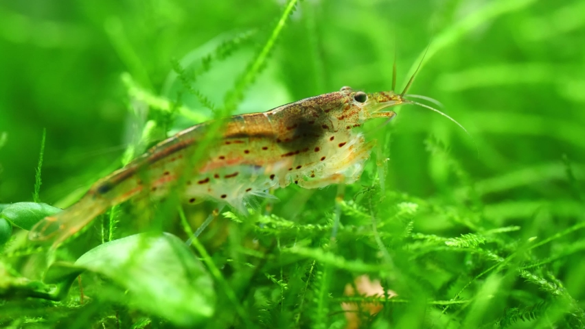 Close up of an Amano Shrimp in a freshwater aquarium Royalty-Free Stock Footage #1070656522