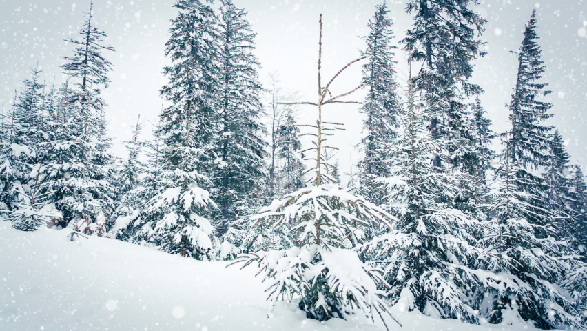 Beautiful fluffy snow on tree branches. Snow falls beautifully from the spruce branches. Winter fairy tale, trees in snow captivity. Snowing winter footage video | Shutterstock HD Video #1070778763