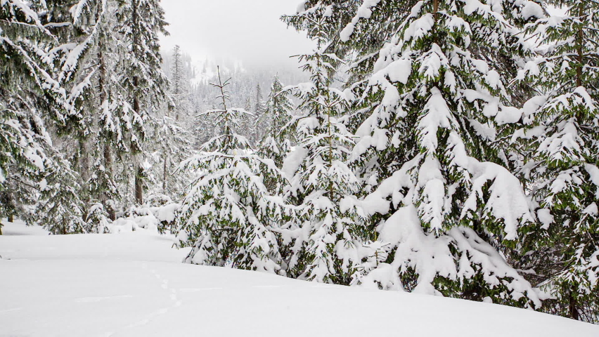 Beautiful fluffy snow on tree branches. Snow falls beautifully from the spruce branches. Winter fairy tale, trees in snow captivity. Snowing winter footage video | Shutterstock HD Video #1070778766