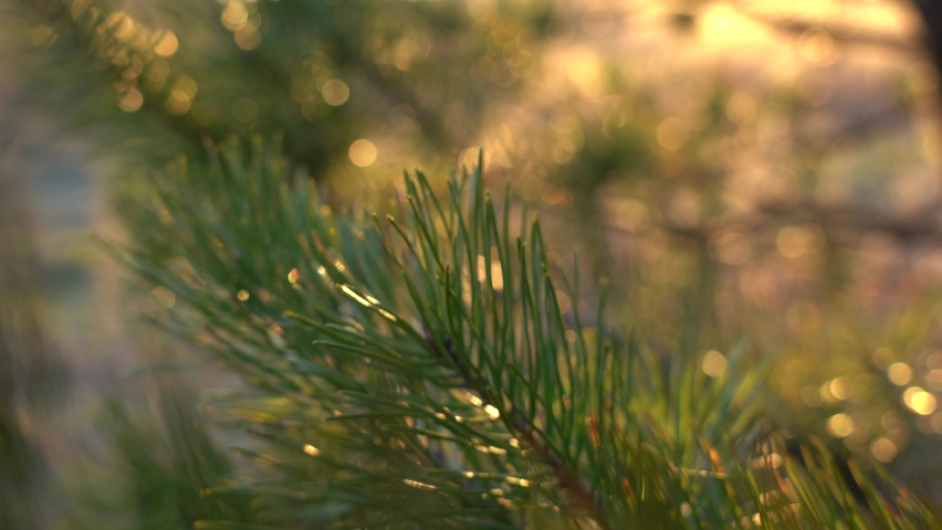 Closeup view 4k stock video footage of green branches of pine tree blowing by wind. Beautiful evening sunset sunny green and golden foliage bokeh background | Shutterstock HD Video #1070781199