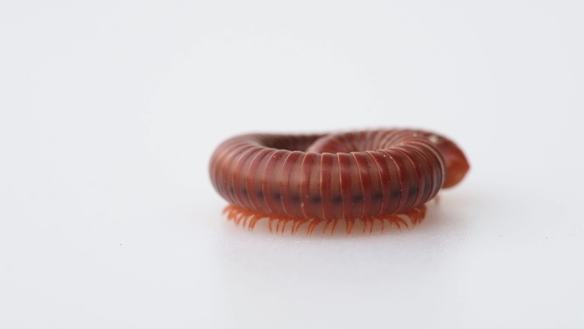 Close-up of millipede curled up moving on the white background, See the legs of millipede in a hundred legs, macro | Shutterstock HD Video #1070785600