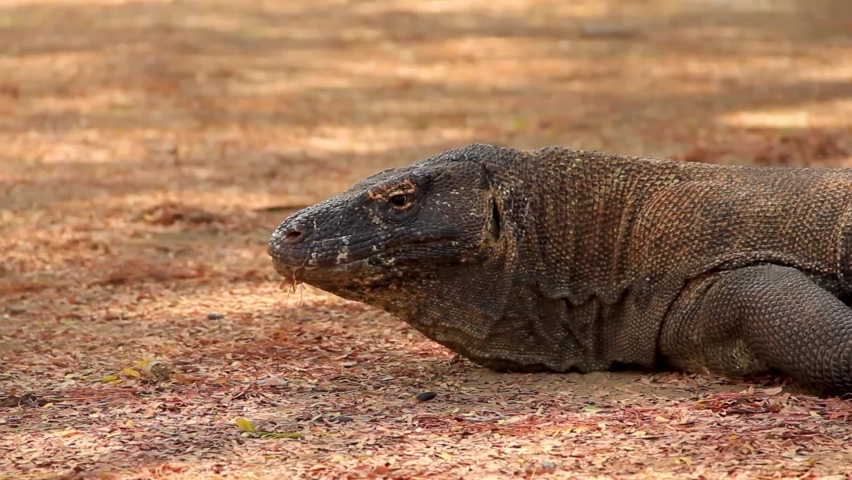Old Komodo dragon slumped on the ground cooling down from the harsh Indonesian Sun - Medium close up Pan shot | Shutterstock HD Video #1070791393