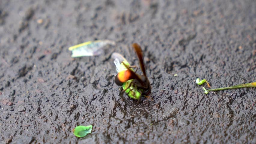 Hunting wasp killing grasshopper, tropical vespa affinis close up | Shutterstock HD Video #1070791585