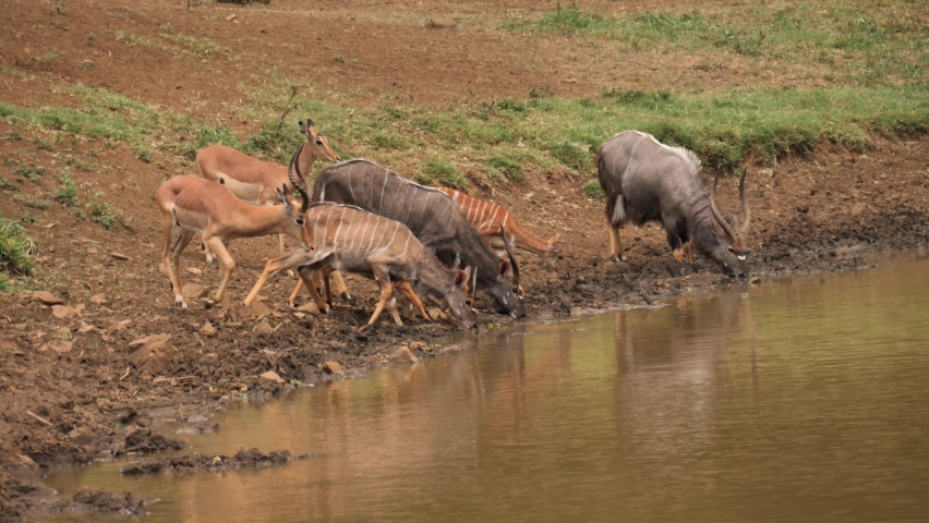 Nyala and Impala spooked while drinking muddy water at African pond | Shutterstock HD Video #1070791672