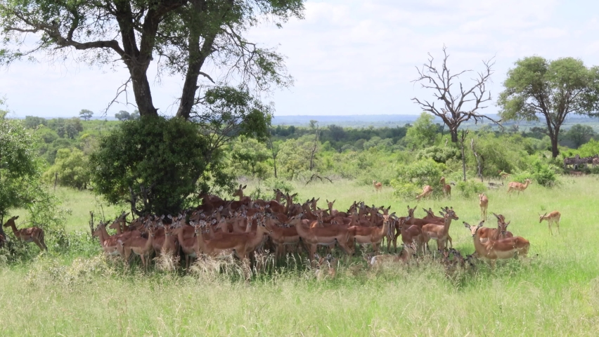 Entire herd of Impala cram into shade of single big tree in Kruger NP | Shutterstock HD Video #1070791675