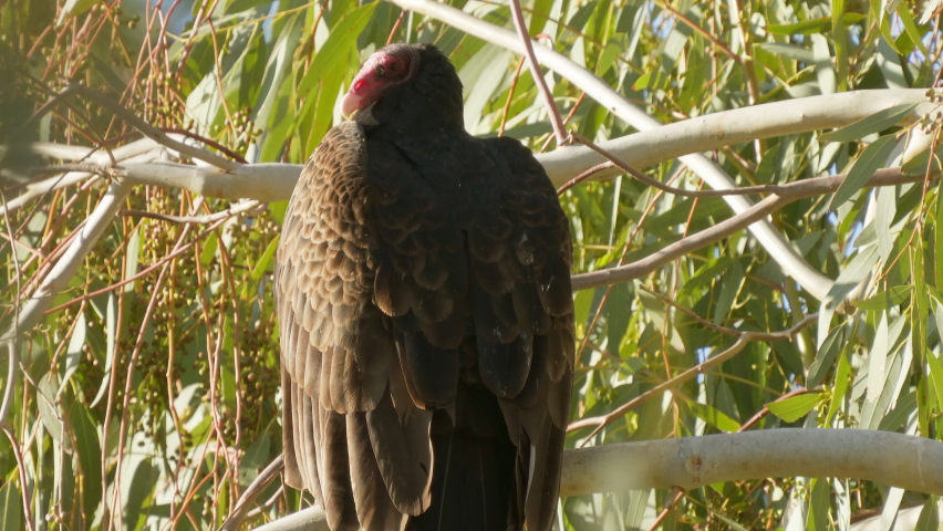 Close up of an ugly Turkey Vulture perched on a tree limb waiting for death | Shutterstock HD Video #1070791687