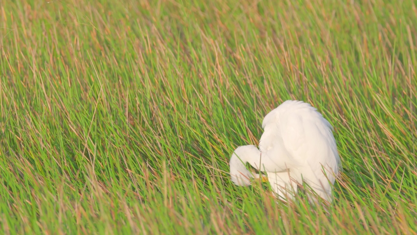 White egret preening and lifting wing amonst green and brown reeds | Shutterstock HD Video #1070791924