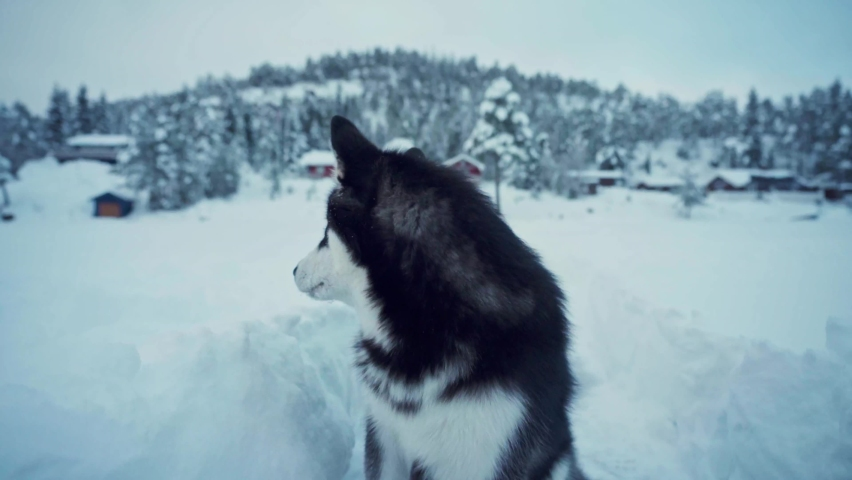 Domestic Dog Alaskan Malamute In Winter Countryside Landscape Near Town Of Trondheim In Norway. - Close Up Shot | Shutterstock HD Video #1070792470