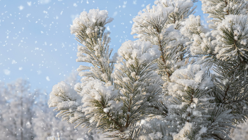 Winter background. Soft snowfall. Beautiful snow-covered pine branch in the foreground.. Snowfall, winter, concept of new year, christmas, holidays. | Shutterstock HD Video #1070792740
