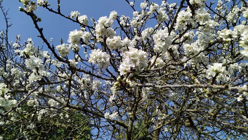 Branches with cherry blossoms close up   Shutterstock HD Video #1070803030