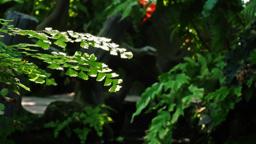 Close up green leaves of delta maidenhair fern in summer season. Beauty in Nature background fronds of Adiantum raddianum or Maidenhair Fern. 4K viewing leaves of growing houseplant maidenhair fern. | Shutterstock HD Video #1070804050