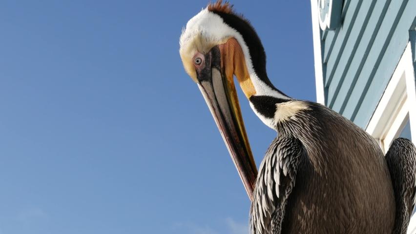 Wild brown pelican on wooden pier railing, Oceanside boardwalk, California ocean beach, USA wildlife. Gray pelecanus by sea water. Big bird in freedom close up and blue sky. Large bill beak. Low angle | Shutterstock HD Video #1070930959