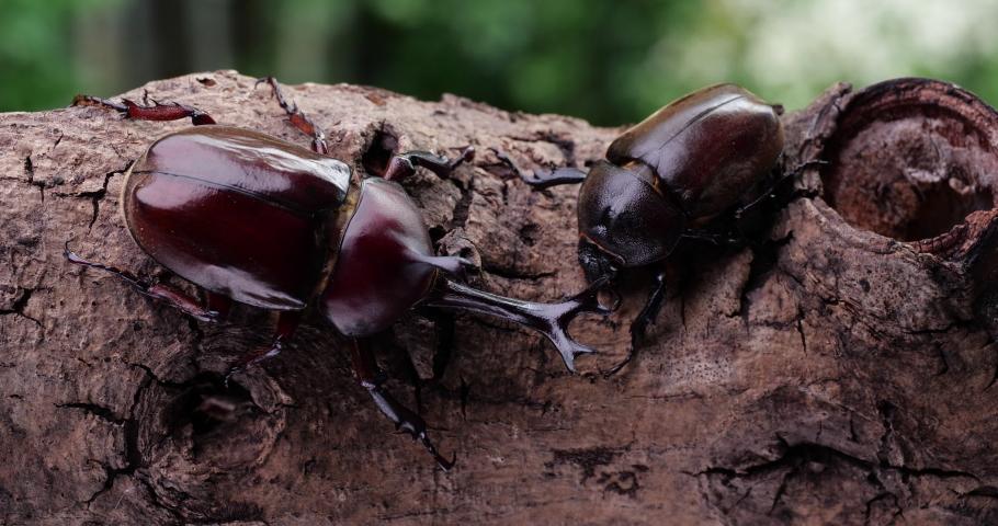 Video of male and female beetles.  Japanese Rhinoceros Beetle. | Shutterstock HD Video #1071036517