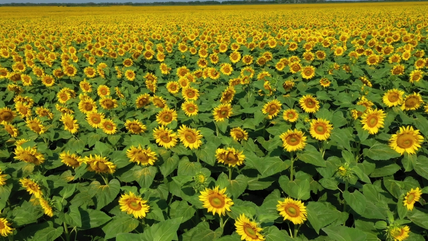 4k drone video of sunflower field. Agriculture. Aerial view of sunflowers.Taking sunflower blooming in a vast sunflower field fluttering in the wind