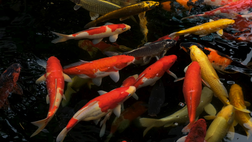 Koi fish or Fancy carp fish swimming in water | Shutterstock HD Video #1071127480