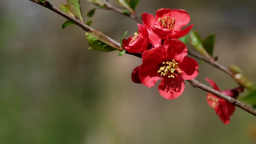Japanese Quince (Chaenomeles, Maule's Quince) sacura tree flowers (Chaenomeles japonica), twig with blossoms in the afternoon breeze. Beautiful red spring flowers and fresh green leaves close-up, 4k. | Shutterstock HD Video #1071128359