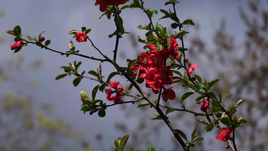 Japanese Quince (Chaenomeles, Maule's Quince) sacura tree flowers (Chaenomeles japonica), twig with blossoms in the afternoon breeze. Beautiful red spring flowers and fresh green leaves close-up, 4k. | Shutterstock HD Video #1071128377