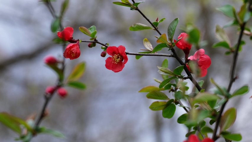 Japanese Quince (Chaenomeles, Maule's Quince) sacura tree flowers (Chaenomeles japonica), twig with blossoms in the afternoon breeze. Beautiful red spring flowers and fresh green leaves close-up, 4k. | Shutterstock HD Video #1071128515
